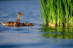 Mallard Duck Family with Yellow Duckling. A mother duck with four brown ducklings waits for her yellow duckling to catch up. The yellow is a hybrid from the royalty free stock photography