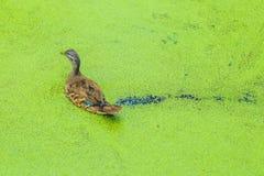 Mallard duck feeding on duck weed in a green overgrown pond.  Stock Photos