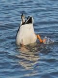 Mallard Duck Feeding. In a pond Royalty Free Stock Photos
