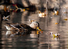 Mallard Duck feeding in the water Stock Image