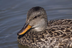 Mallard duck female. Close up Royalty Free Stock Photos