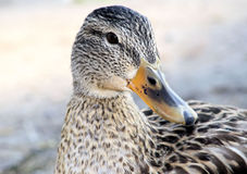 Mallard Duck - female. A close-up of a Mallard duck female - also called a hen Royalty Free Stock Photography