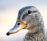 Mallard Duck - female. A close-up of a Mallard duck female - also called a hen Royalty Free Stock Images
