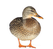 Mallard Duck - female. A Mallard hen - isolated on white background Stock Image