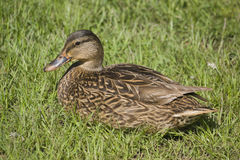 Mallard Duck Female Royalty Free Stock Photos