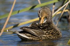 Mallard duck female. A duck in a water-flow, treating her feathers Stock Photography
