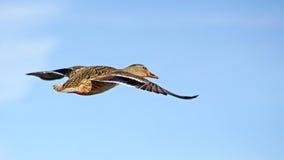 Mallard duck female flying. Mallard duck female flying free against a bright blue sky Stock Photo