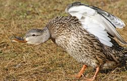 Mallard duck female having a good stretch Royalty Free Stock Images