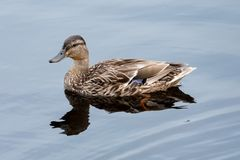 Mallard duck female on the lake. Mallard duck female is resting on the lake. magnificent Royalty Free Stock Photo