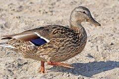 Mallard Duck Female. Little Mallard duck walking along sandy beach Royalty Free Stock Images