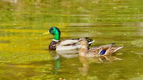 Mallard Duck female and male Royalty Free Stock Photos