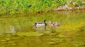Mallard Duck female and male. Mallard Ducks in natural environment Royalty Free Stock Photos