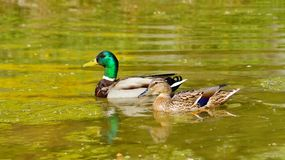 Mallard Duck female and male. Mallard Ducks in natural environment Royalty Free Stock Photography