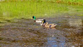 Mallard Duck female and male. Mallard Ducks in natural environment Stock Photography