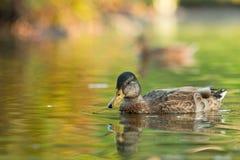 Mallard Duck. Female Mallard duck in a colorful autumn reflection Royalty Free Stock Photos
