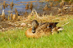 Mallard Duck female. In natural environment Stock Photos