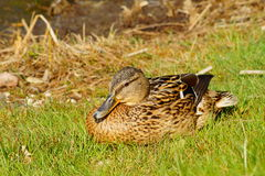 Mallard Duck female Royalty Free Stock Photo