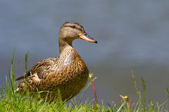 Mallard duck. Female mallard duck portrait in grass Royalty Free Stock Images