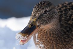 Mallard Duck female portrait in winter Royalty Free Stock Photo