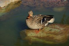 Mallard duck female Stock Photography