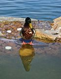 Mallard duck. Female Mallard duck sits on a rock in the pond with her reflection in the water Stock Photos