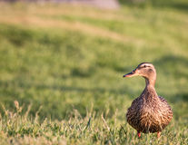 Mallard Duck Female standing in grass with copy Space. Female Mallard Duck, Anas platyrhynchos,  standing in grass. Image has copy space and is a close up of the Royalty Free Stock Photo