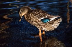 Mallard Duck Female. Female mallard standing in a stream Royalty Free Stock Images