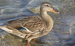 Mallard duck female standing in water at shoreline Stock Photography
