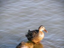 Mallard Duck Royalty Free Stock Photo
