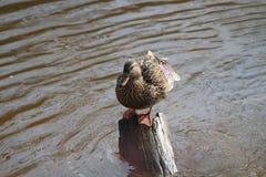 Mallard Duck female. In sun on stump Stock Images