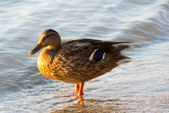 Mallard Duck Female. Sweet duck came out to me on the shore and was my perfect model. Thank her Royalty Free Stock Photo