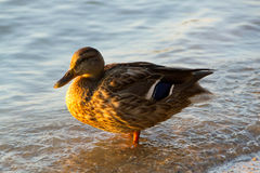 Mallard Duck Female. Sweet duck came out to me on the shore and was my perfect model. Thank her Stock Images