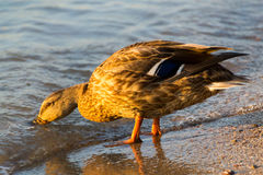 Mallard Duck Female. Sweet duck came out to me on the shore and was my perfect model. Thank her Stock Photography