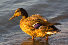 Mallard Duck Female. Sweet duck came out to me on the shore and was my perfect model. Thank her Stock Image