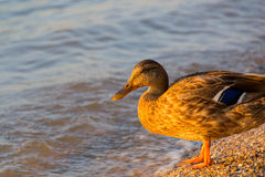 Mallard Duck Female. Sweet duck came out to me on the shore and was my perfect model. Thank her Stock Photo