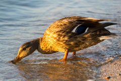 Mallard Duck Female. Sweet duck came out to me on the shore and was my perfect model. Thank her Royalty Free Stock Images