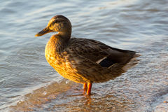 Mallard Duck Female. Sweet duck came out to me on the shore and was my perfect model. Thank her Royalty Free Stock Photography