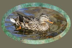 Mallard duck female swimming on beautiful waters - background border added. Mallard duck female swimming on beautiful waters - background and border added Royalty Free Stock Photography