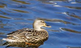 Mallard duck female swimming on calm blue waters Royalty Free Stock Photo