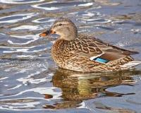 Mallard duck female swimming on calm waters Royalty Free Stock Photos