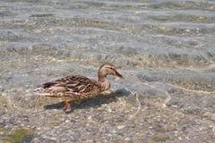 Mallard duck. Female mallard duck swimming in a clear water Stock Images