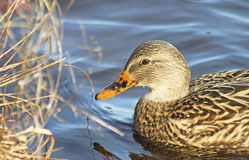 Mallard duck female swimming towards Reed grasses at Marsh Stock Photography