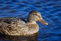 Mallard swimming in water. Mallard duck female swimming in water Royalty Free Stock Photography