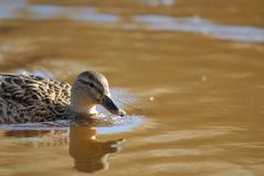 Mallard swimming in water. Mallard duck female swimming in water Royalty Free Stock Photo