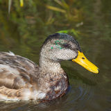 Mallard duck. Female mallard duck swimming in water Royalty Free Stock Images