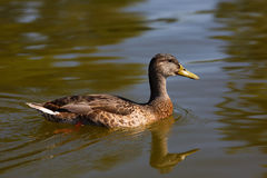 Mallard duck female swimming on the water. Mallard duck female swimming on the water Stock Image