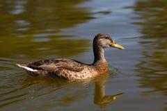 Mallard duck female swimming on the water. Stock Image