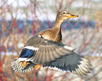 Mallard duck female taking off during hunting season Stock Photos