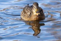 Mallard Duck female on water. Mallard Duck (Anas platyrhynchos) female on water Royalty Free Stock Image
