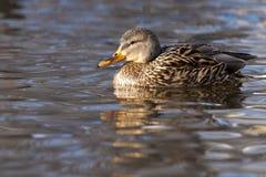 Mallard Duck female on Water. Mallard Duck (Anas Platyrhynchos) female on Water Royalty Free Stock Images